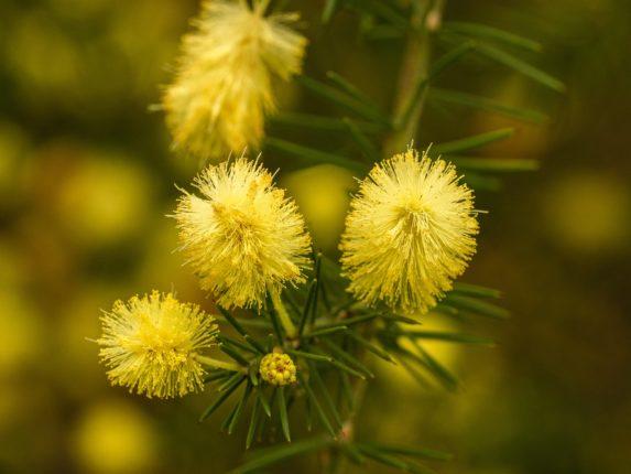 Mimose, alcuni boccioli gialli